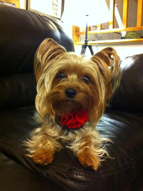 bark collar yorkie 17 best images about yorkie haircuts on best style yorkie and yorkie