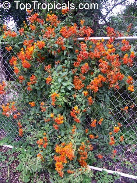 Good Trellis Plants Senecio Confusus Mexican Flame Vine Toptropicals Com