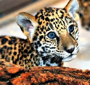 What Do Jaguars Eat In The Rainforest Update Milwaukee S Jaguar Cubs Eat Play Grow Zooborns