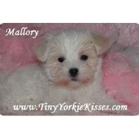 maltese puppies for sale in tn teacup yorkie puppy for sale tinyyorkiekisses local yorkie puppies breeds