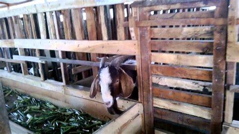 Bibit Kambing Jawa Timur kambing boer tulungagung jawa timur