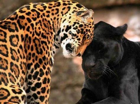 jaguar symbolism jaguar symbolism jaguar meaning spirit animals
