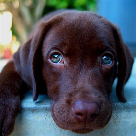puppies with green nothing like a chocolate lab puppy with green awwwww lab puppies