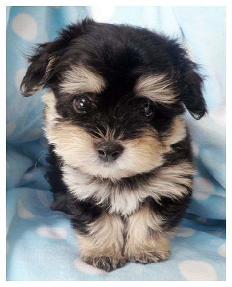 havanese yorkie 488 best images about teddy dogs on