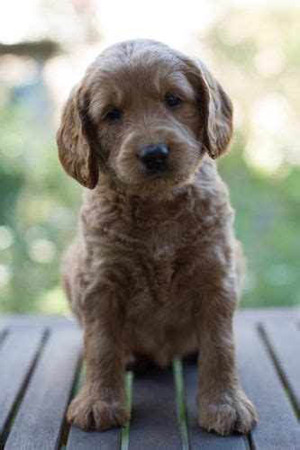 australian labradoodle puppies for sale 25 best ideas about australian labradoodle puppies on labradoodle