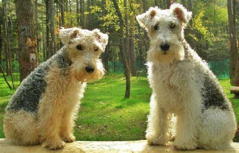 lakeland terrier puppies lakeland terrier breed information and images breeds k9rl