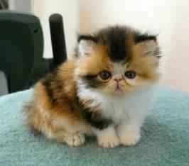 Cat Adoption Kittens For Adoption Sunderland Cats For Sale Kittens