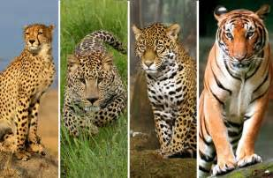 Jaguar And Leopard Comparison Pin Leopard Vs Guepard Picarena Image Match Pictures On