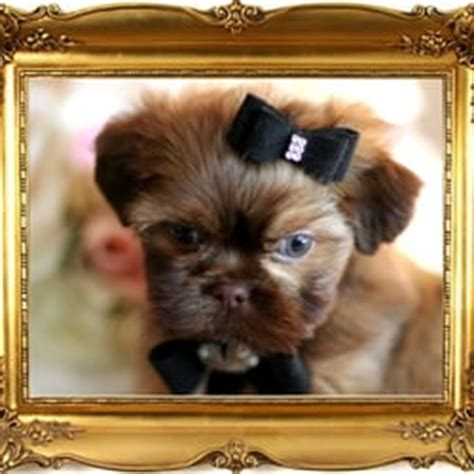 teacup puppies fort lauderdale puppy boutique store 49 photos 22 reviews pet stores 4001 n federal hwy