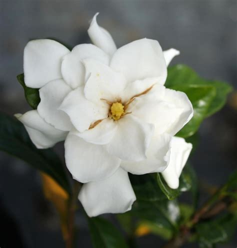 high c gardenias 28 images gardenia rosal flickr photo