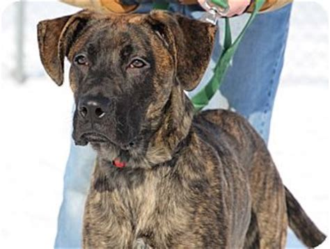 yorkie great dane mix braden adopted puppy 15d01061 elyria oh great dane mix
