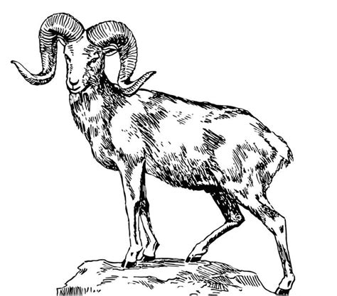 mountain sheep coloring page rocky mountain bighorn sheep coloring page