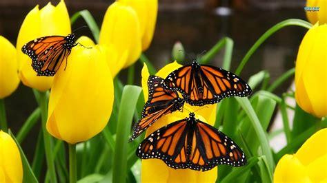 monarch butterfly monarch butterflies 784500 walldevil
