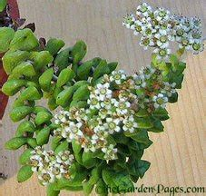 rosary bead plant thegardenpages so cal gardening friday floral