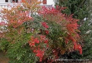 colorful shrubs garden sense fall color shrubs