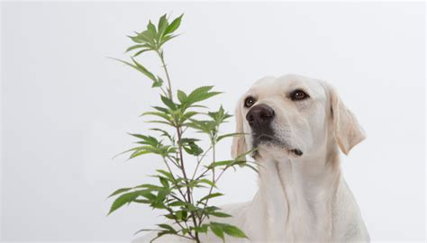marijuana and dogs how can marijuana help your is it for dogs zenpype