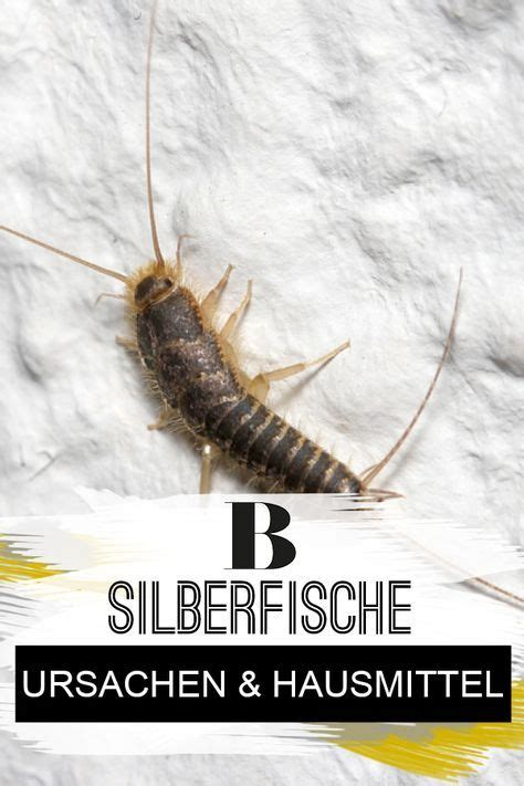 Silberfische Im Bad Woher Kommen Sie by Silberfische Ursachen Und Hilfreiche Hausmittel Keller