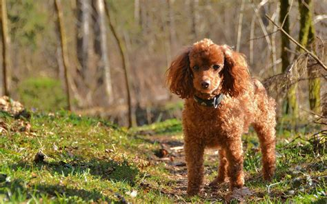 the puppy who lost his way poodle lost his way in forest chainimage