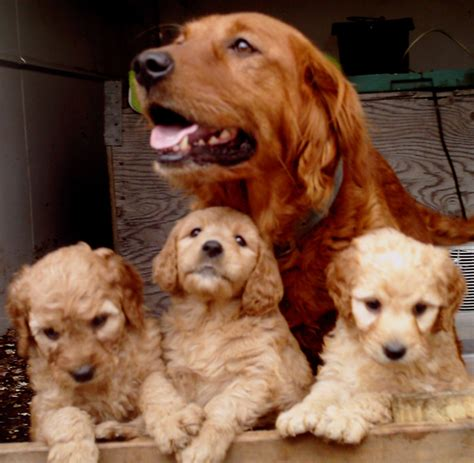 goldendoodle and labradoodle puppies