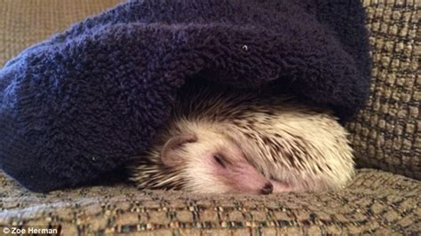 passenger s pet hedgehog banned from flying in airplane