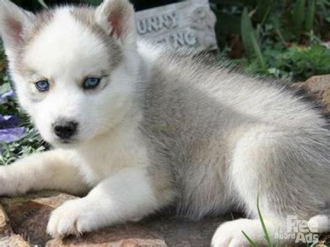 husky puppies for sale in mo best 25 husky puppies for sale ideas on pomsky for sale pomeranian