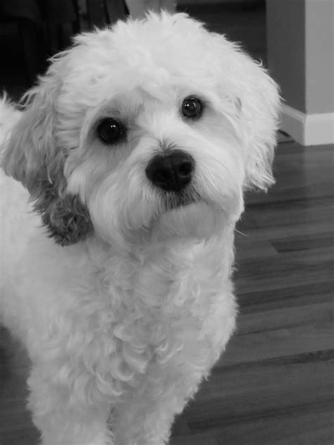 why has my maltese terrier got thin hair 9 best ideas about lhasapoo on pinterest the o jays