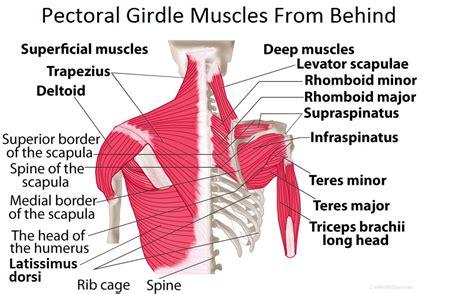 shoulder diagram pectoral girdle anatomy bones muscles function diagram