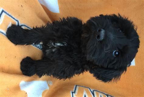 black schnauzer puppies black miniature schnauzer puppies for sale