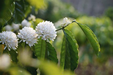 Arbuste A Fleur 762 by Caf 233 Ier Cultiver Et Entretenir Ooreka