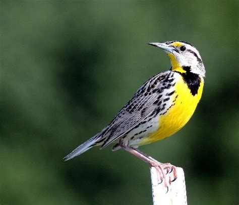 western meadowlark novel stuff pinterest