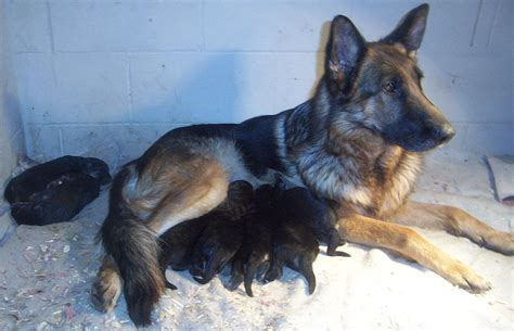 german shepherd puppies for sale nyc new york german shepherds wurtsboro ny german shepherd breeders wurtsboro ny german