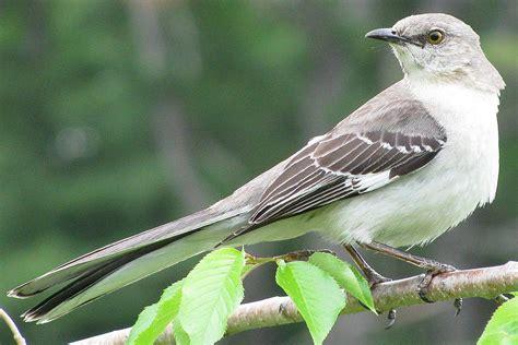 northern mockingbird mimus polyglottos bird profile