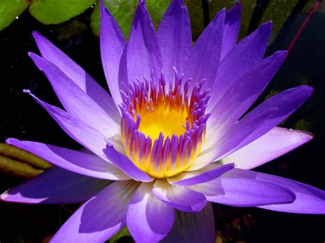 imagenes rosas violetas flores violetas im 225 genes taringa