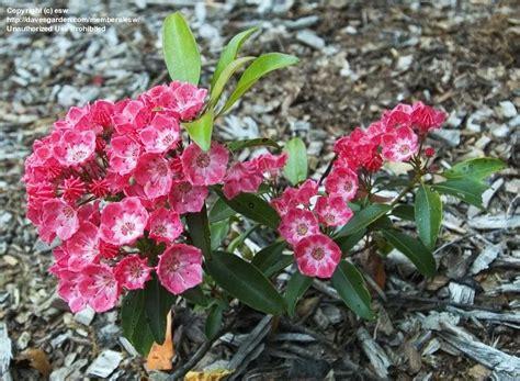 kalmia latifolia plantfiles pictures mountain laurel sarah kalmia