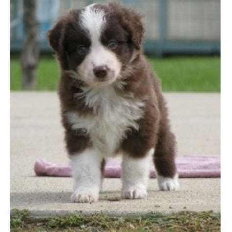 australian shepherd puppies michigan miniature australian shepherd aussie breeders in the usa and canada