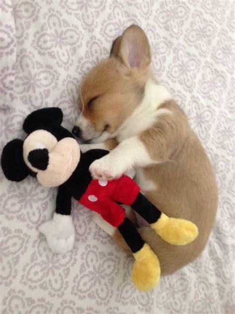 corgi beagle wlkm radio 95 best 25 teacup dachshund ideas on pocket