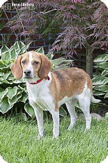 puppies for adoption columbus ohio beagle mix for adoption in columbus ohio ike