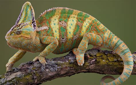 fotos animales reptiles veiled chameleon wallpaper 711018