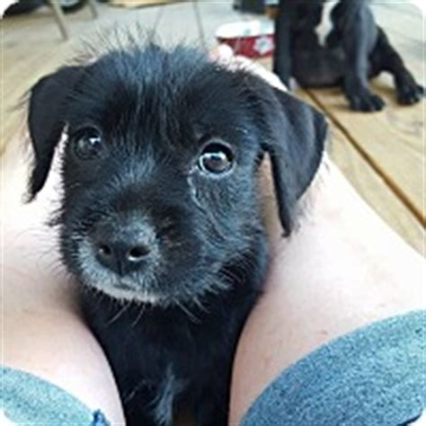 lab yorkie mix bath me yorkie terrier labrador retriever mix meet abbee a puppy for