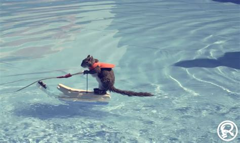 1 year water skiing twiggy the waterskiing squirrel