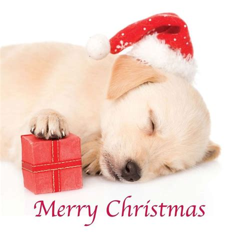 merry puppy 1000 images about yellow labrador greeting cards on yellow labrador