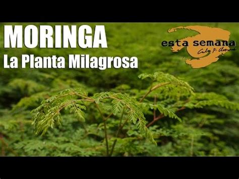 video de la planta de moringa youtube moringa la planta milagrosa youtube