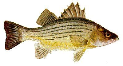lake chickamauga bass boat rentals chickamauga lake tennessee us fish identification chart