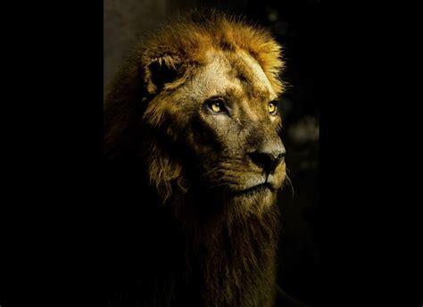 imagenes de leones national geographic las mejores fotos del 2010 seg 250 n national geographic