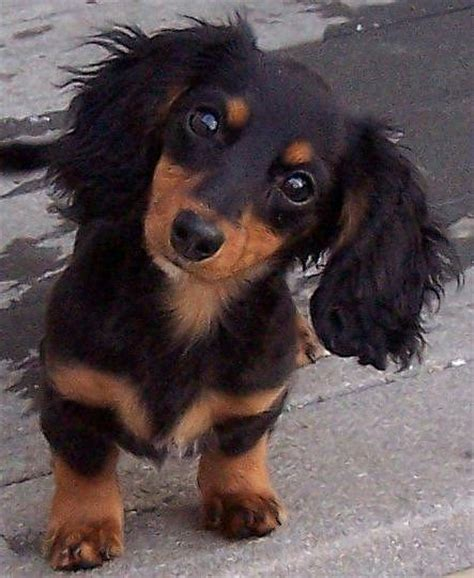 hair daschund puppies puppy dogs haired miniature dachshund puppies