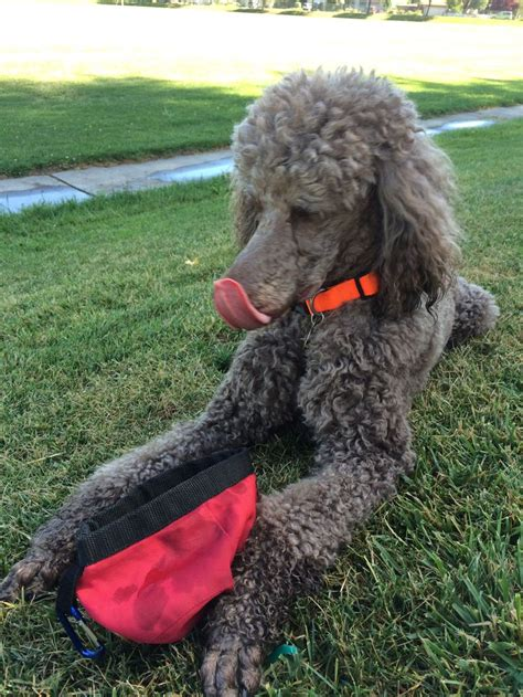 1000 images about doggy doos on pinterest poodles shih 1000 images about standard poodle love on pinterest