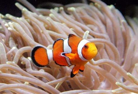 nemo rising books global warming threatens fish that inspired finding nemo
