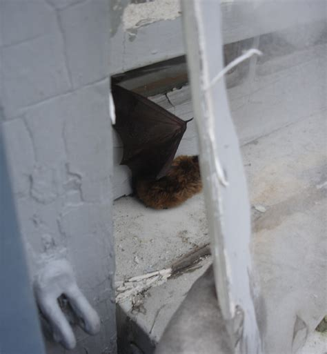 bat trapped in room animal removal in massachusetts batguys wildlife update march 4th 2007