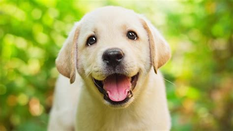 Lovely Sweet White wallpapers retriever dogs lovely beautiful white tongue