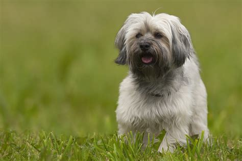 traits of havanese dogs here s the breed you should adopt based on your zodiac sign